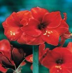 Hippeastrum - Amarylis Red Lion